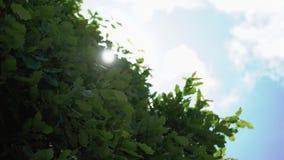 De boom doorbladert en zon stock footage