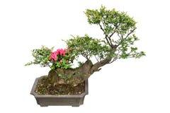De boom en de rododendron van de bonsai royalty-vrije stock afbeeldingen