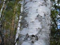 De boom en de schors van de berk stock afbeeldingen