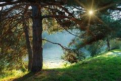 De boom en de zonstralen van de pijnboom door de takken Stock Foto's