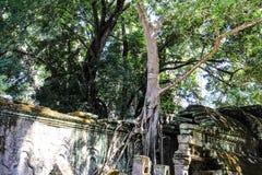 De Boom en de muur van Kambodja Siem Ta Prohm stock afbeelding