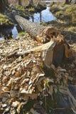 De boom felled door bevers in het bos royalty-vrije stock afbeelding