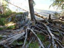 De boom gaat in het water, blijven de wortels op de kust stock foto
