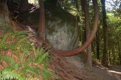De boom groeit rond rots in Snoqualmie-Dalingen Stock Foto's