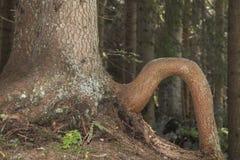 De boom heft been op Royalty-vrije Stock Fotografie