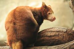 De boom-kangoeroe van Matschie Stock Fotografie