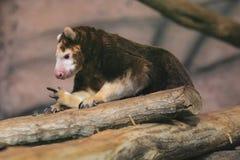 De boom-kangoeroe van Matschie Stock Foto