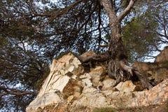 De boom klampt zich aan het leven op de rots vast Stock Fotografie