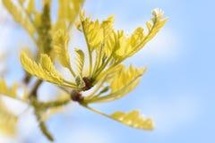 De boom lichte lente