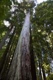 De Boom _MG_2340 van de Californische sequoia Stock Afbeelding