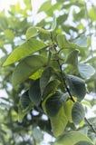 De boom muricata Annona van de bladerenzuurzak installatie om thee te maken drinkin Royalty-vrije Stock Foto's