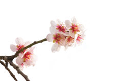 De boom roze bloemen van de amandel. Royalty-vrije Stock Foto