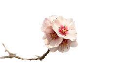 De boom roze bloemen van de amandel. Royalty-vrije Stock Fotografie