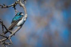 De boom slikt - het mannetje van Tachycineta bicolour Stock Foto's