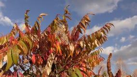De boom sumac LAT van de herfstbladeren Rhustyphina stock videobeelden