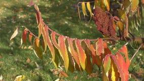 De boom sumac LAT van de herfstbladeren Rhustyphina stock video