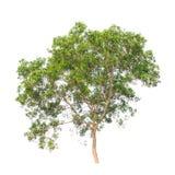 De boom van acaciaauriculiformis die op wit wordt geïsoleerd Royalty-vrije Stock Foto's