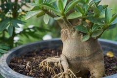 De boom van Adeniumobesum royalty-vrije stock foto's