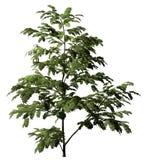 De boom van Albizzia Stock Afbeelding