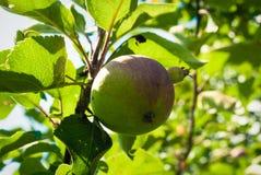 De boom van de appel Apple-boom met kleine natuurlijke appel Royalty-vrije Stock Foto