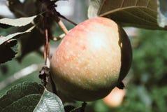 De boom van de appel Apple-boom met kleine natuurlijke appel Stock Foto