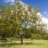 De boom van Apple royalty-vrije stock afbeelding
