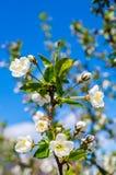 De Boom van Apple van de bloemenbloei royalty-vrije stock foto's