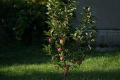 De boom van Apple is volledig van rode rijpe appelen Veel van de vruchten liggen reeds onder de boom Royalty-vrije Stock Foto's