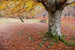 De boom van Autum Stock Fotografie
