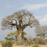De boom van Balboa in Serengeti royalty-vrije stock afbeelding