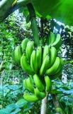 De boom van de banaan stock fotografie