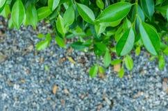 De boom van Banyan Royalty-vrije Stock Fotografie