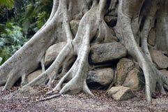 De boom van Banyan Royalty-vrije Stock Foto's