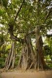 De boom van Banyan in het park van Lissabon Stock Afbeeldingen