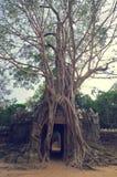 De boom van Banyan over de deur van Som van Ta. Angkor Wat Stock Foto