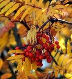 De boom van bergash rowan in dalingskleuren met bessen royalty-vrije stock fotografie