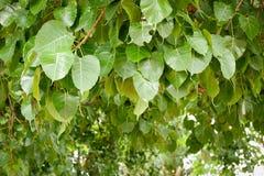 De Boom van bladerenbodhi stock foto's