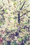 De boom van de bloesem De lente witte bloemen gestemd Stock Foto's