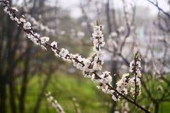 De boom van de bloesemabrikoos op vage achtergrond Stock Foto