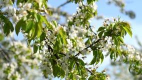De boom van de bloesemkers stock videobeelden