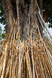 De boom van Bodhi Royalty-vrije Stock Afbeeldingen