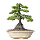 De boom van de bonsai die op witte achtergrond wordt geïsoleerd Zijn struik wordt gekweekt in een pot of een sierboom in de tuin stock foto