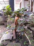 De boom van de bonsaipijnboom stock foto