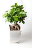 De boom van Bonzai Royalty-vrije Stock Afbeelding
