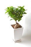 De boom van Bonzai Stock Afbeelding