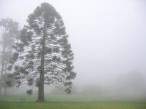 De boom van Bunya in mist Stock Foto's