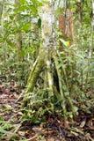 De boom van Cecropia met steltwortels Royalty-vrije Stock Afbeeldingen