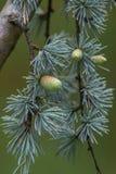 De boom van Cedrusdeodara als ceder met zaadkegels die meestal wordt bekend royalty-vrije stock foto