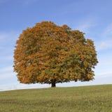 De boom van Conker van de paardekastanjeboom (Aesculus-hippocastanum) in de herfst, Lengerich, Noordrijn-Westfalen, Duitsland Royalty-vrije Stock Fotografie