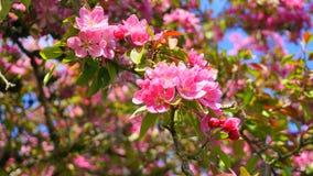 De boom van Crabapple van de Malusroyalty met bloemen in dichte omhooggaand van de ochtendzon De Bloesem van de appel royalty-vrije stock foto's